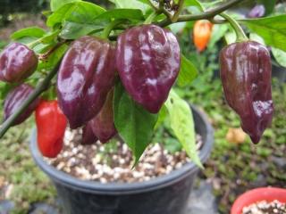 purple-bhut-jolokia-plant
