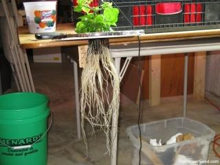 7 pod brain strain dwc roots