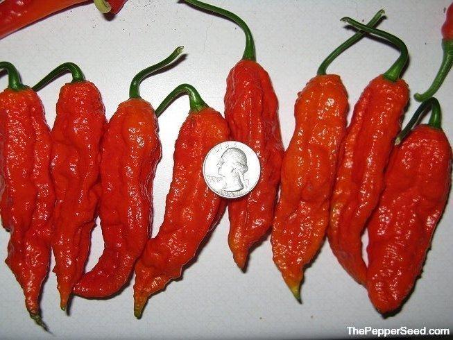 Seeds Giant Bhut Jolokia Pepper Giant Ghost Pepper