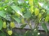 Caramel Bhut Jolokias on Plant