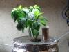 chocolate bhut jolokia growing in dwc