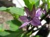 Black Jalapeno Flower
