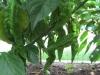 Yellow Bhut Jolokia Plant SG